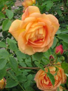David Austin Peach Rose